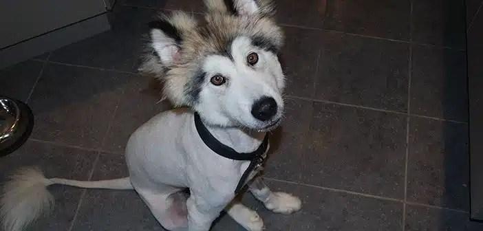 Siberian husky haircut
