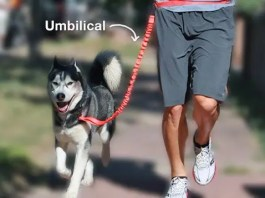 Umbilical Training Husky
