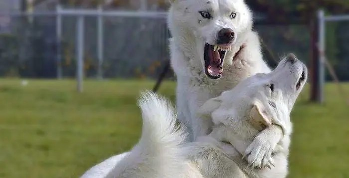 Husky aggression