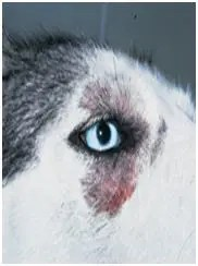 Dermatitis in huskies eye