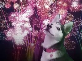 Husky and Fireworks
