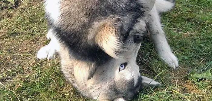 Dominant Husky