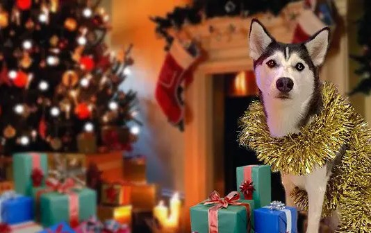 Husky Christmas Presents