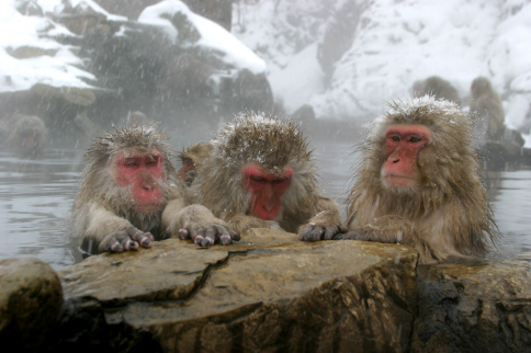 Snow Monkeys of Jigokudani,Yamanouchi, Nagano warming up in thermal spring water.