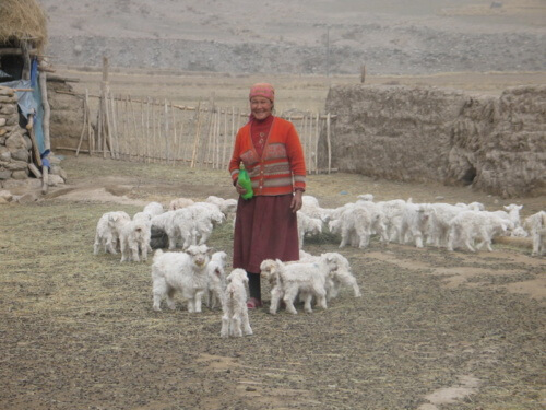 Livestock holdings are the main source of income for many local communities in snow leopard habitat.