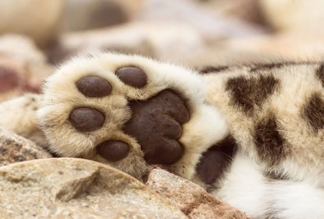 snow-leopard-paw-website