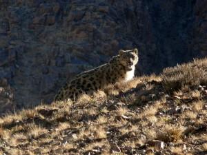 A Snow Leopard in the Sun