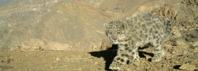 A wild snow leopard cub in Spiti, India