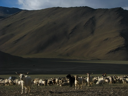 a herd of Changra goats in the Indian Himalayas