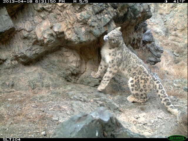 Tost's snow leopards are being monitored with remote-sensor research cameras