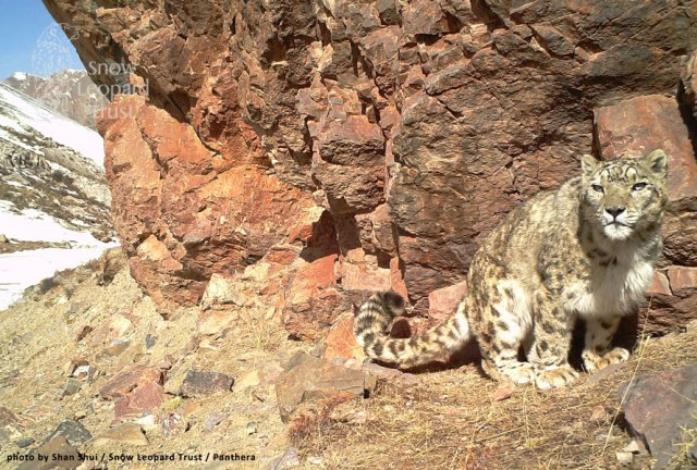a wild snow leopard photographed in China's Sangjuangyuan area, one the country's prime snow leopard habitat