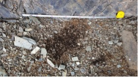 Scrape marks can be a sign of snow leopard presence - but they don't make a good basis for population estimates
