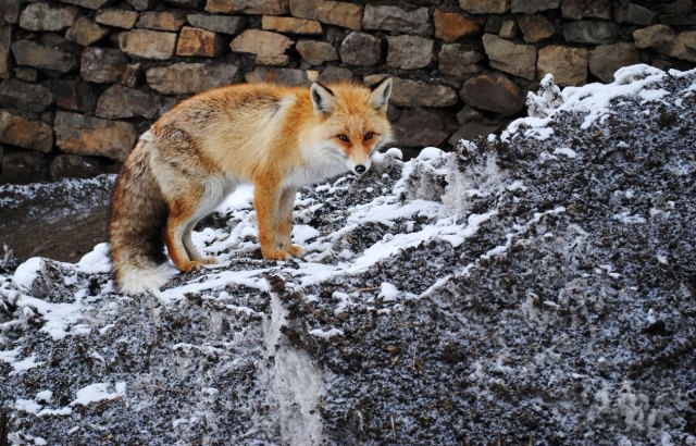 a red fox looks for food in Gete village, Spiti