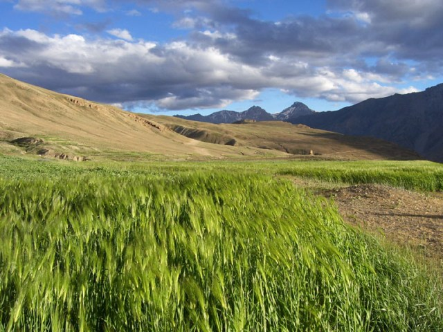 Bharal and other wild ungulates can cause damage to villagers' crops in Spiti.