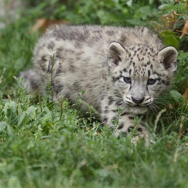 Snow Leopard Cub Daniel Muenger