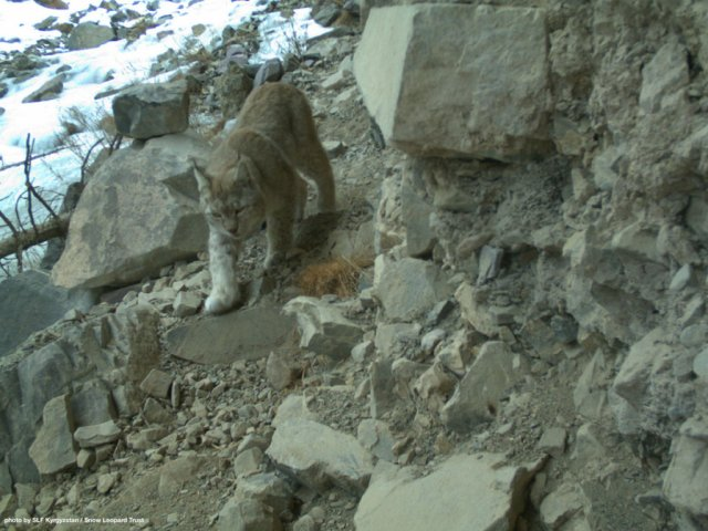 A lynx caught on camera in Shamshy Sanctuary.