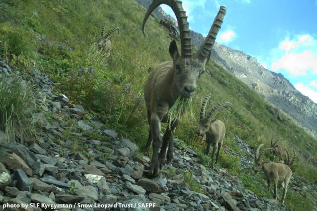 Shamshy's ibex used to be hunted commercially. Now, they are able to thrive under protection. Photo by SLF Kyrgyzstan / Snow Leopard Trust / SAEPF