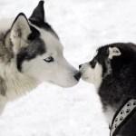 Hondenslee rijden met Husky's