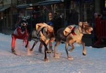 Skijoring rendierenrace Tromso. Foto: arctic_council via Flickr, labeled for reuse