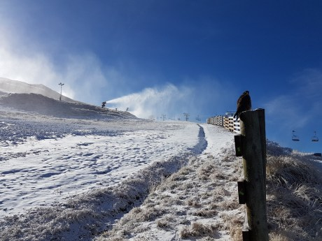 NZ Falcon watches over snowmaking_Coronet Peak