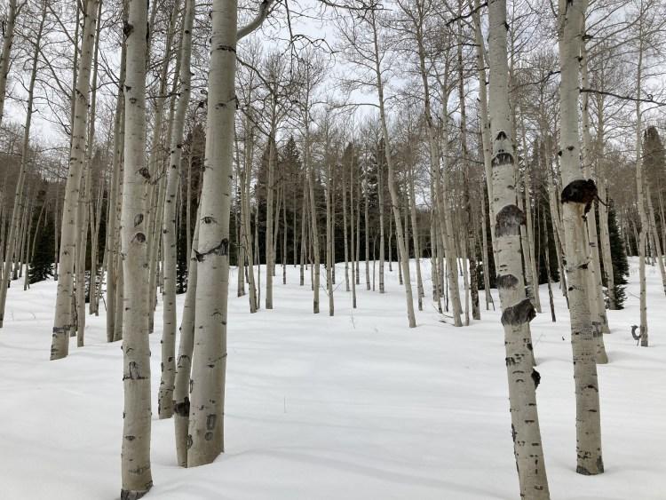forest of aspen trees