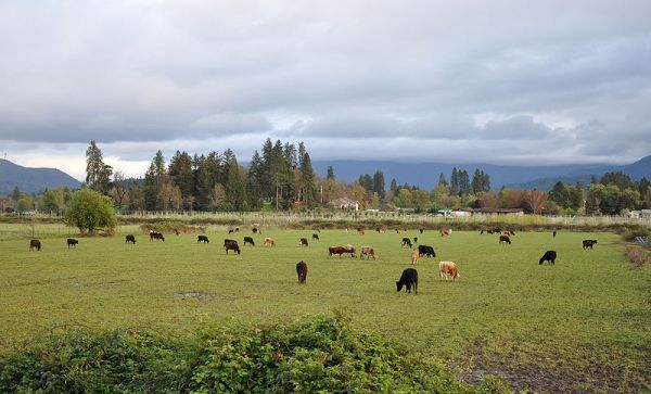 800px-Cattle_near_grants_pass