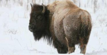 bison in Riding Mountain