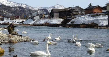 swans on lake with snow covered buildings and mountains in background