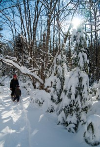 "The ""dinosaurs"". The evergreens have been heavy laden with snow for over a month."