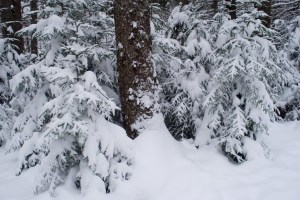 The trail passes through a spruce and pine forest.