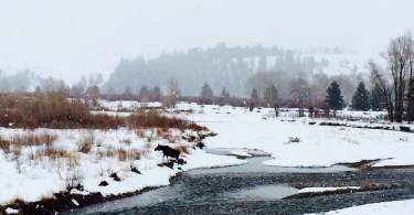 moose after crossing snowy Gros Ventre River near Jackson Hole WY