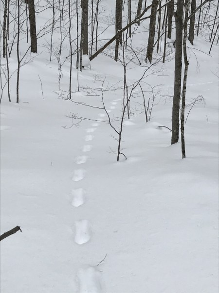 animal tracks on a snowshoe outing