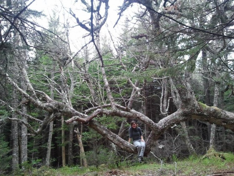 camping in maritime provinces: person sitting among twisted trees in Cape Chignecto Provincial Park