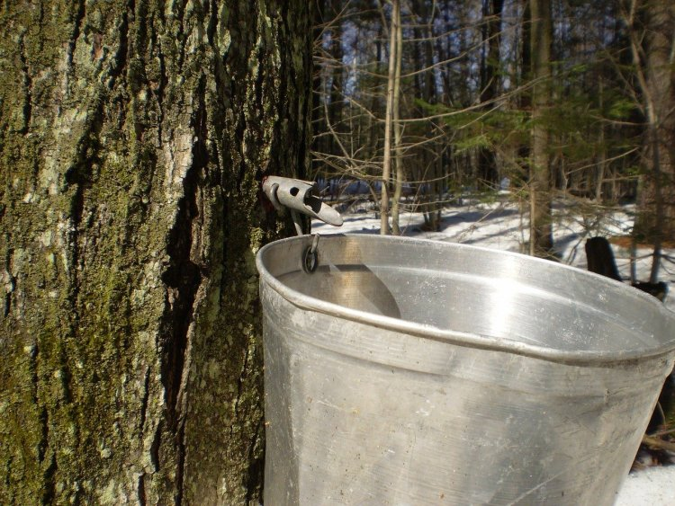 close up of spile and bucket in maple tree