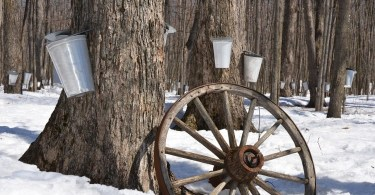 trees with buckets for maple syrup tapping and decorative wheel in foreground