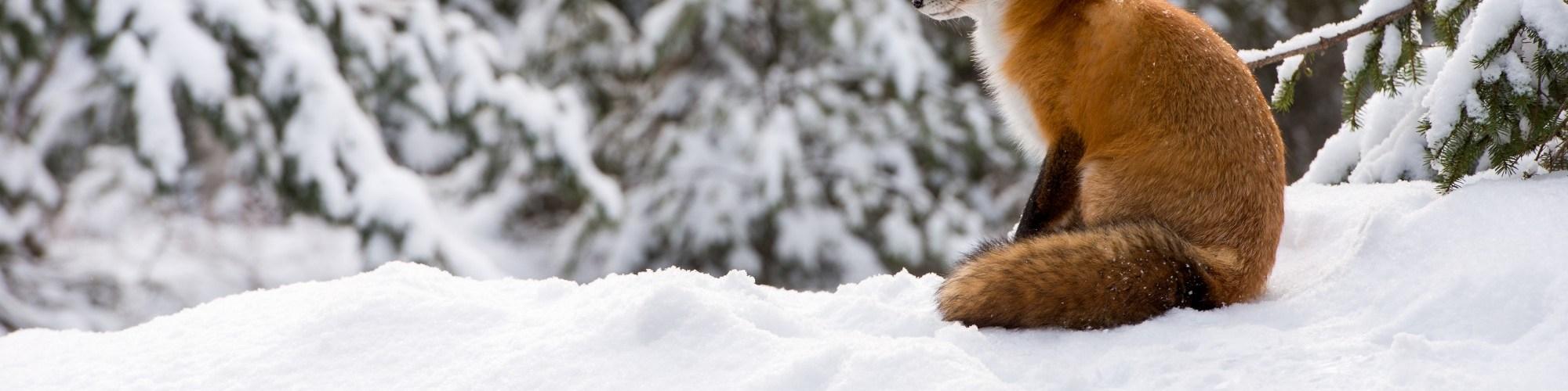 fox in Algonquin Park