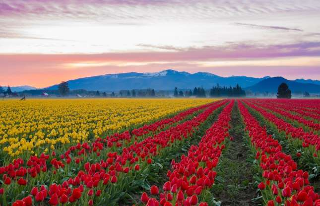 red and yellow tulip fields with a mountain backdrop