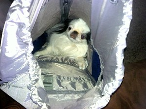 Just how big is the packing cavity? Ozzie, a Japanese Chin, decided to test it. His decision? Enough room to add ten little female Chins . . . and snacks.