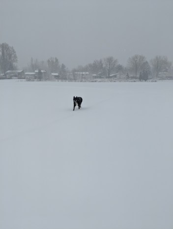 dog far away in snow (Grizzy)