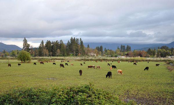 800px-Cattle_near_grants_pass