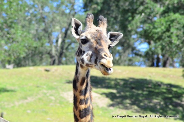 Giraffe_closeup