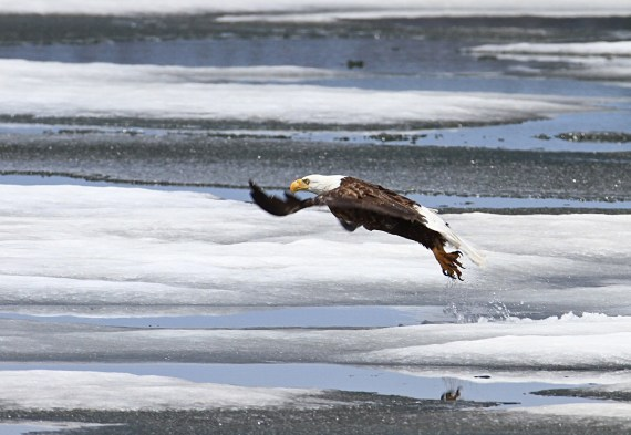 bald eagle- snowshoeing southern New Hampshire