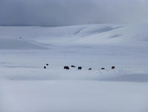 Nothing but bison and snow in the middle of Yellowstone.