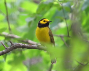 The Hooded Warbler, unique species in the woods of Murphy-Hanrehan State Park
