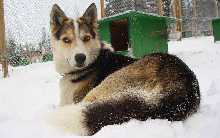 sled dog welfare