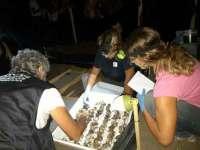 Tartaruga Caretta caretta in Toscana