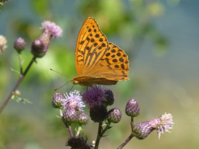 la bellezza delle farfalle: Argynnis paphia