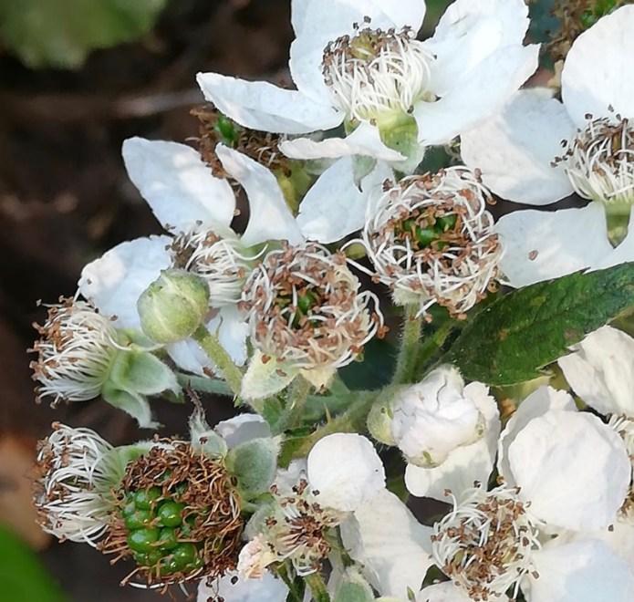 Rovo in fiore