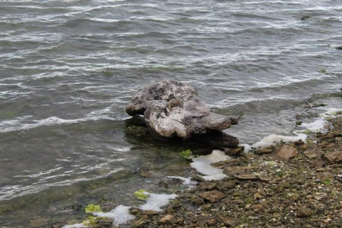 Tronco spiaggiato Stagno Marceddi (Terralba) OR