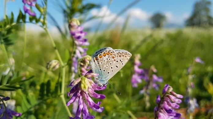 La farfalla con la Bisalta sullo sfondo, guardiana bioindicatrice dell'orto domestico_Cuneo Via Tetto Cavallo